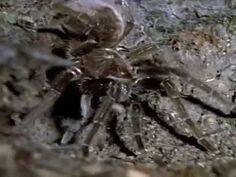 Co dokážou pavouci ( dokument ) - YouTube