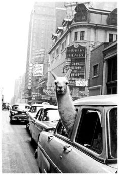 Fotó: Inge Morath: Linda, the Llama, in Time Square, New York City, NY (Life Magazin, 1957. december 2)