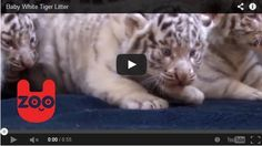 A Litter Of White Tiger Cubs