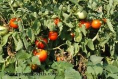 Disease Prevention for Tomatoes
