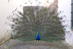 Peacock Vaidoso