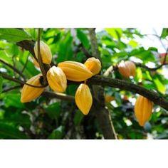 Beurre de Cacao Belle peau
