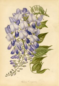 Samuel Holden. Wisteria consequana, from Paxton's Magazine of Botany, and Register of Flowering Plants, 1840. Aquatint.