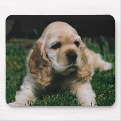 Cute little cocker spaniel puppy. My cocker spaniel looks just like this one! American Cocker Spaniel, Cocker Spaniel Puppies, English Cocker Spaniel, Bulldog Puppies, Cute Puppies, Cute Dogs, Dogs And Puppies, Doggies, Funny Dogs