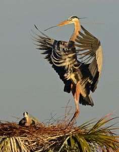 great blue heron nesting activity by slingher on flickr