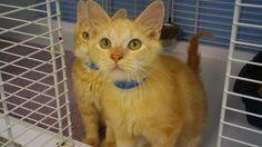 Otis 6360 Needs a good home! CatsExclusive.org Fixed, vaccinated, negative for FIV/FeLV/HW, de-wormed, de-fleaed.