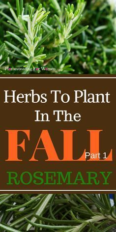 Herbs To Plant In The Fall -Part 1 Rosemary, some benefits to health and how to grow and use Rosemary in your herb garden.