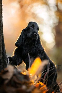 Puppy Chow, Beagle Puppy, Bulldog Puppies, Cute Puppies, Scottish Terrier, Animals Beautiful, Cute Animals, I Love Dogs, Puppy Love