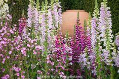 Foxglove 'Camelot Mix' (Digitalis) biennial flowers in garden with urn