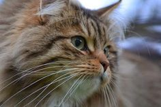 Siberian Forest Cat from Baden Württemberg, Germany. See the complete photo series at http://travelling-cats.blogspot.be/2015/01/cats-from-baden-wurttemberg-germany.html