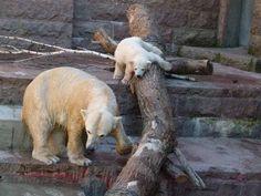 Eisbären im Rostock Zoo   Fiete und Eisbären Mutter Vilma im Rostocker Zoo – April 2015 (c) FRank Koebsch