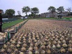 Попробуйте посадить лук китайским способом!