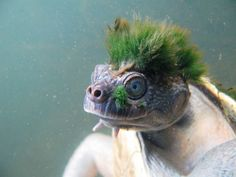 Mary River Turtle With Punk Algae Mane