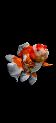 Tank Design, Black Wallpaper, Freshwater Fish, Goldfish, Betta, Drawing Ideas, Fresh Water, Perspective, Fiction