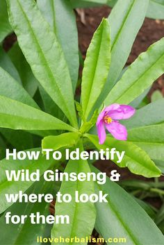 Herbal Gardening How To Identify Wild Ginseng - Discover where these wild ginsengs grow and how to identify them! - Do You Want To Know How To Identify Wild Ginseng? Here is the video showing how to identify wild ginseng and where to look for them