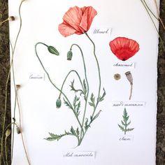 Вот такой болгарский мак у меня вышел для #ботанический_баттл #ботанический_баттл_раунд1_светлана надеюсь, что пройду с ним и в следующий тур. Рисовать в отпуске с детьми, которые постоянно хотят купаться, это конечно то ещё испытание)) #акварель #ботаника #ботаническаяжтвопись #мак #watercolor #botany #botanyart #poppy #aquarelle
