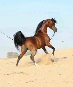 The classic beauty of an Arabian in the desert.