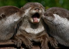Baby Otters Kissing