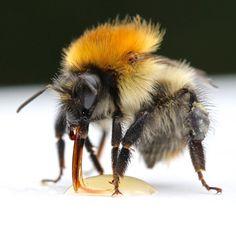 The bumblebee's tongue Bee, Animals, Nature, Animales, Naturaleza, Animaux, Animal, Animais, Off Grid