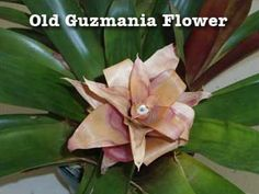 "Question: My Guzmania bromeliad plant is done blooming. How should I care for it? Patricia, Georgia Answer: Patricia, a few months have probably past since you got your Guzmania bromeliad. The ""flower"" I'm sure was beautiful and added color in the right spot. Indoors, I get about 4, sometimes 5 months of color out of …"