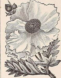 "Image from page 69 of ""Cox seed and plant co. catalogue"" (1896) 