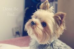 I love yorkies! I kinda wish my Ruby's ears would stand up. But they're too big. :(