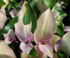 Tradescantia 'Blushing Bride' ~ i never knew such delicate beauty!