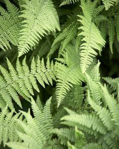 wood ferns (Dryopteris sp.)