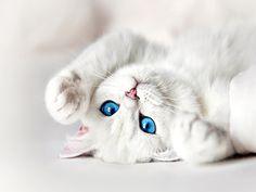 White Kitten with Blue Eyes Wallpaper