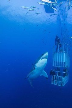 Great white shark and shark cage divers