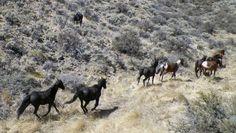 Wild Horses, Nevada