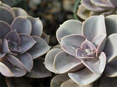 Water-wise succulents are high on style.  Monrovia is pleased to introduce a collection of succulents — both cold hardy and more tender — to satisfy today's more water-conscious gardener. Easy care and attractive, these succulents provide high style when potted in containers in urban settings and in rock gardens, paths and challenging dry spots in the garden.