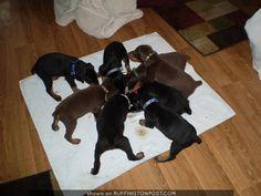 . Doberman Rescue, Doberman Love, Doberman Pinscher, Baby Animals, Beast, Shots, Creatures, Puppies, Mom