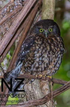 Morepork owl photographied at Zealandia Ecosanctuary in Wellington. Facebook 'owlpage'