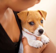 Augenkrankheiten Jack Russell Terrier
