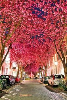 The sight of Cherry Blossoms is always so calming. Bonn, Germany
