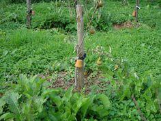 Voor Mij Is de Discussie Beslecht: Fruitbomen Moet Je Niet Snoeien!