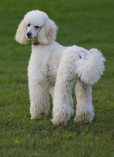 poodle |Pinned from PinTo for iPad|