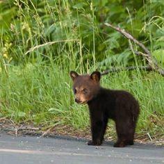 Teddy Cute Baby Animals, Animals And Pets, Funny Animals, Cute Animal Photos, Animal Pictures, Black Bear, Brown Bear, Photo Animaliere, Cute Bears