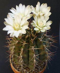 Gymnocalycium stuckertii (G. schickendantzii ssp. schickendantzii)