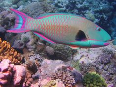 Parrot Fish Picture from Tropical Fish/Underwater Sea Life. Colorful Animals, Colorful Fish, Tropical Fish, Tropical Freshwater Fish, Tropical Colors, Underwater Creatures, Ocean Creatures, Underwater Animals, Underwater Sea