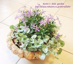 イソトマの寄せ植え。 | Kyoko`s Little Garden - 楽天ブログ
