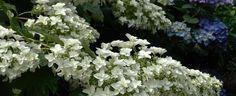 Hydrangea quercifolia by jbgregg