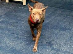 TO BE DESTROYED - 10/11/14 Manhattan Center -P  My name is BAISLEY. My Animal ID # is A1015930. I am a female br brindle pit bull mix. The shelter thinks I am about 2 YEARS old.  I came in the shelter as a STRAY on 09/30/2014 from NY 11434, owner surrender reason stated was STRAY.https://m.facebook.com/photo.php?fbid=881532195192994&id=152876678058553&set=a.611290788883804.1073741851.152876678058553&source=43