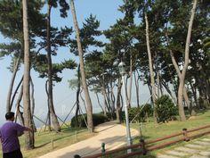 【海云台】树们 나무