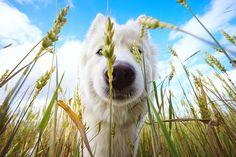 Samoyed by Druvo Art, via 500px