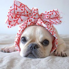 put a bow on it oh, what a pretty Frenchie!
