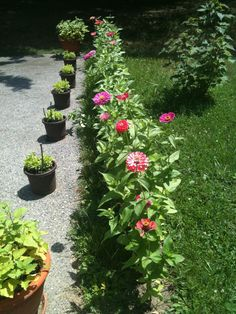 Zinnia flowers....these flowers bloom all spring, summer and early fall...in a variety of colors.  Easy to grow, easy to enjoy.