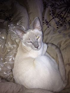 Sweet lilac point Siamese