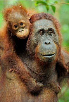 OrangUtan (Pongo pygmaeus), mother and baby by Werner Bollmann on Getty Images Primates, Mammals, Funny Monkey Pictures, Animal Pictures, Animals And Pets, Baby Animals, Cute Animals, Strange Animals, Wild Animals